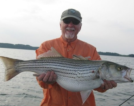 Striped bass up close outfitters for Fishing lake hartwell